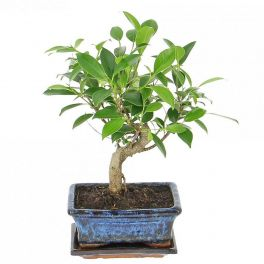 Bloomeria Bonsai la ghiveci